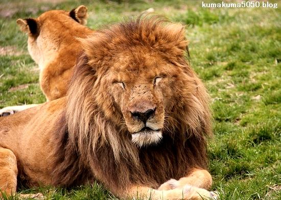 ライオン_1518
