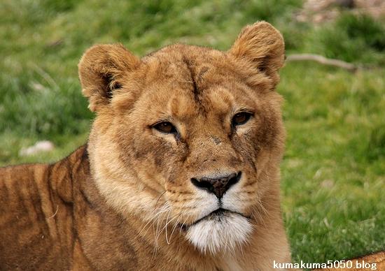 ライオン_1527