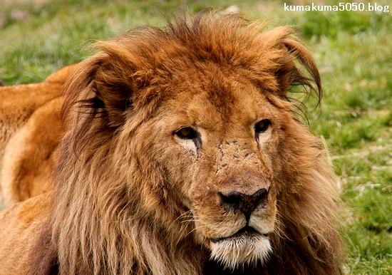 ライオン_1528