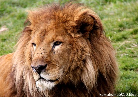 ライオン_1534