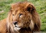ライオン_1600