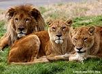 ライオン_1601