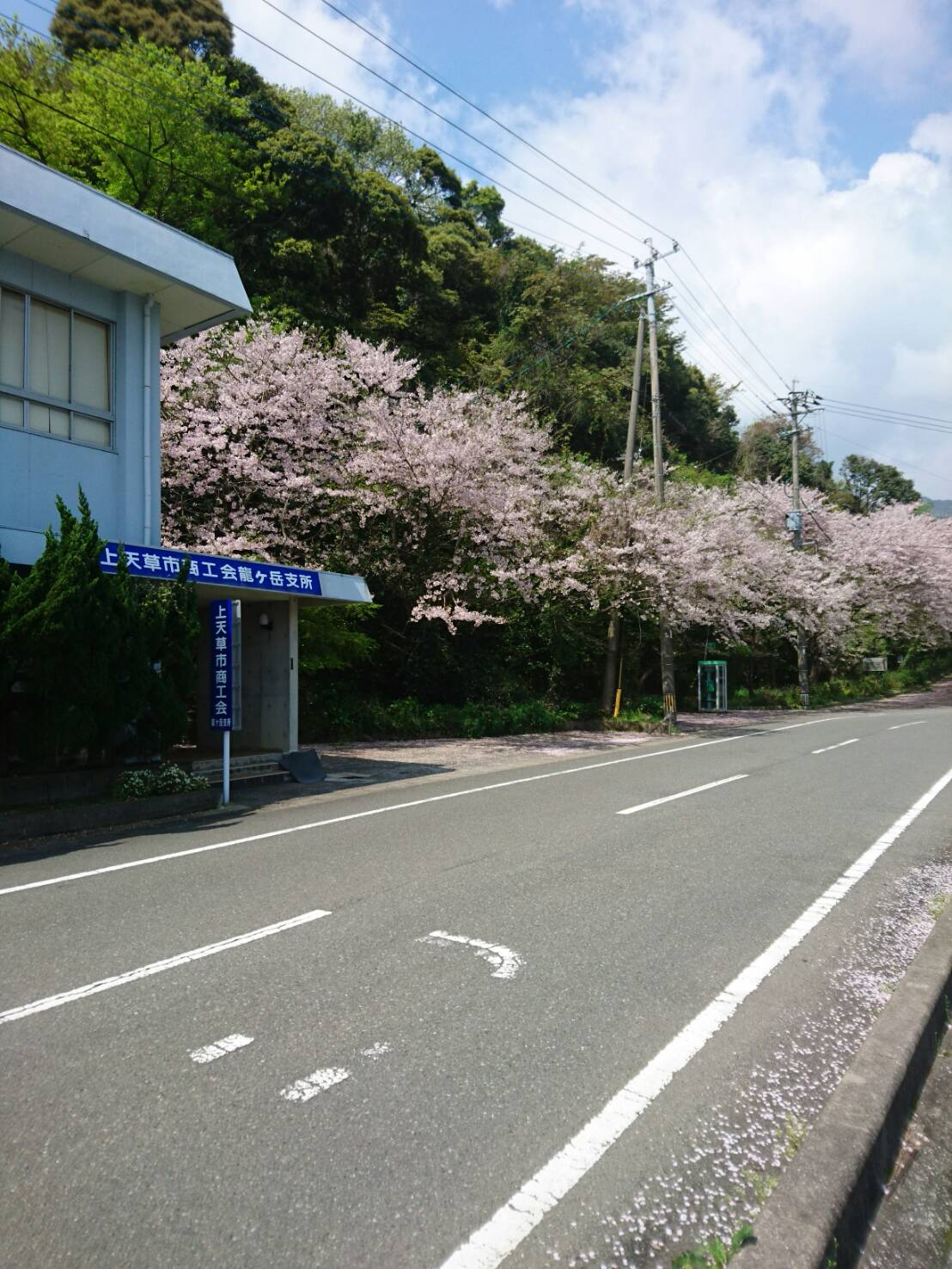 商工会龍ヶ岳支所横の桜並木