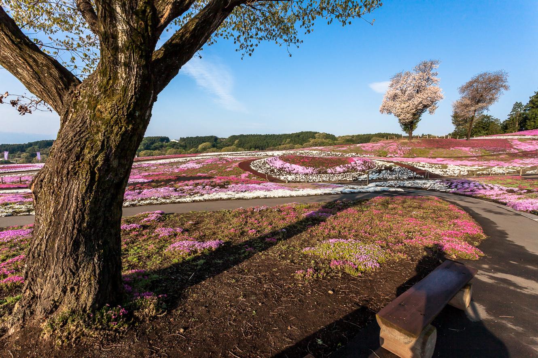 170429みさと芝桜 (1 - 1)-14