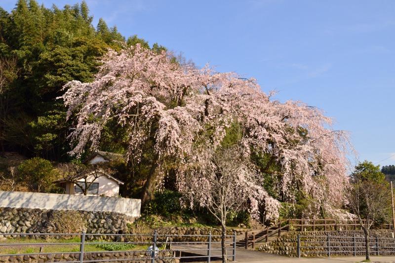 大原しだれ桜 2014.4.5 - エンジョイ登山