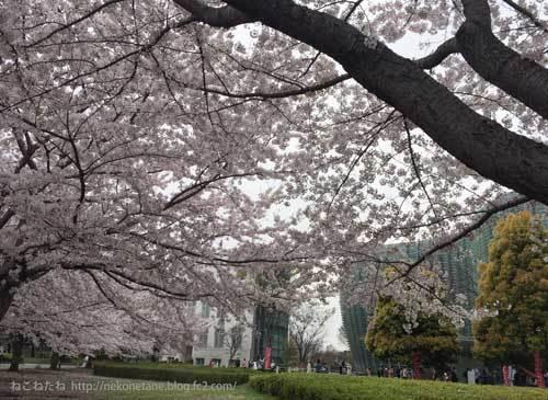 新国立美術館前の桜