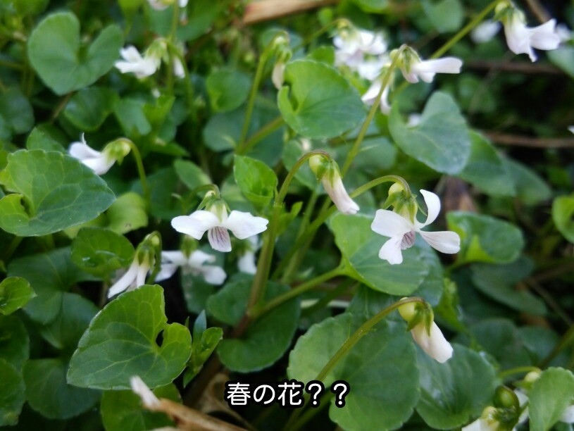 春の花??