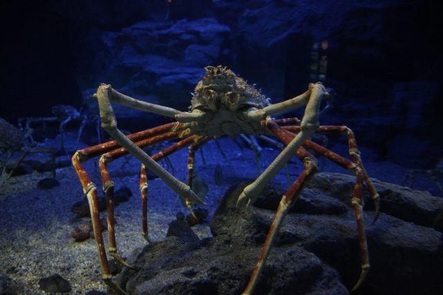 【謎】深海に生息しているはずの「タカアシガニ」が大阪湾で捕獲される!