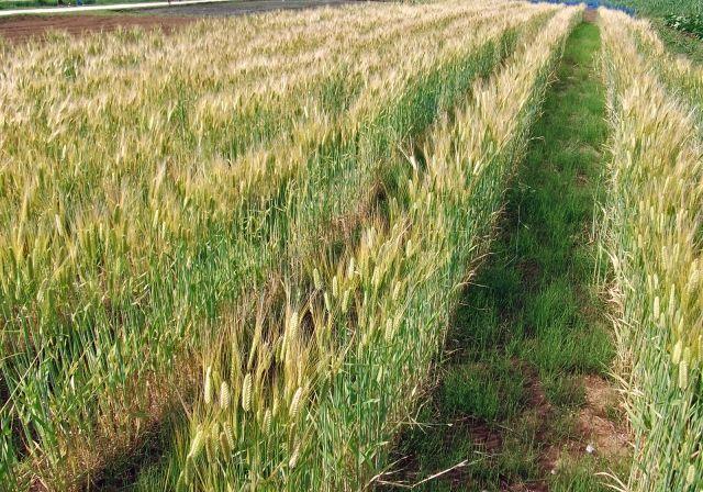 【謎】青森の麦畑に空いた「巨大な穴」調査したが何も見つからず…原因解明できず
