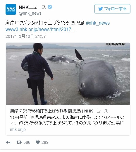 【前触れ】鹿児島県の海岸に「マッコウクジラ」6頭が打ち上げられているのが見つかる!