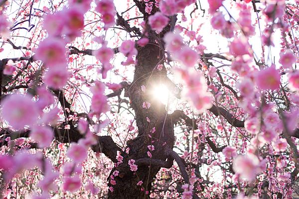 しだれ梅と太陽