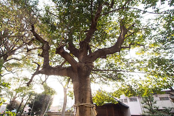 日置神社ご神木のタブ