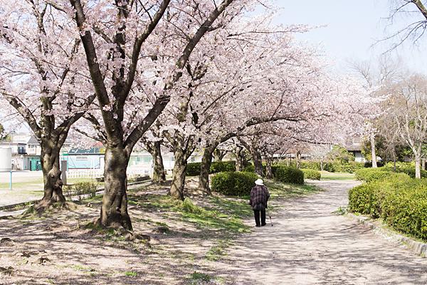 大森北小学校前の桜