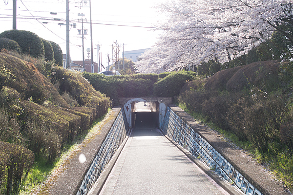 ふれあい緑道の桜