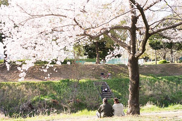 八田川沿いの桜風景