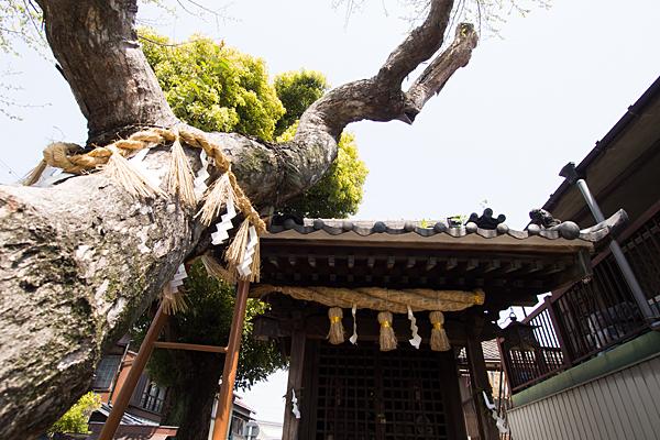 石神社御神木と拝殿