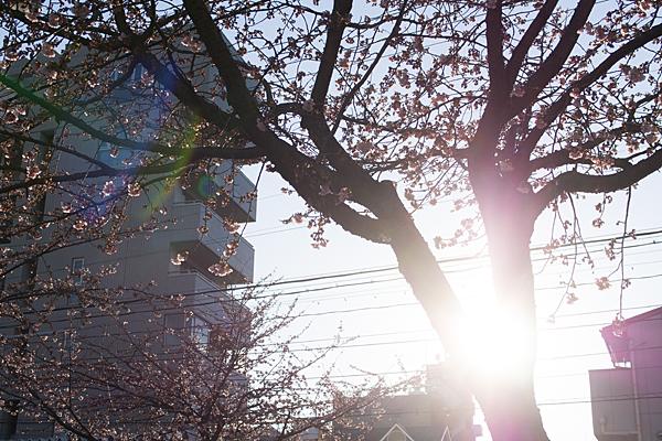 オオカンザクラと太陽
