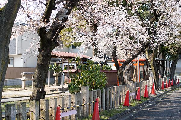 大松町稲荷神社とソメイヨシノ