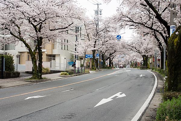 藤が丘前の桜並木