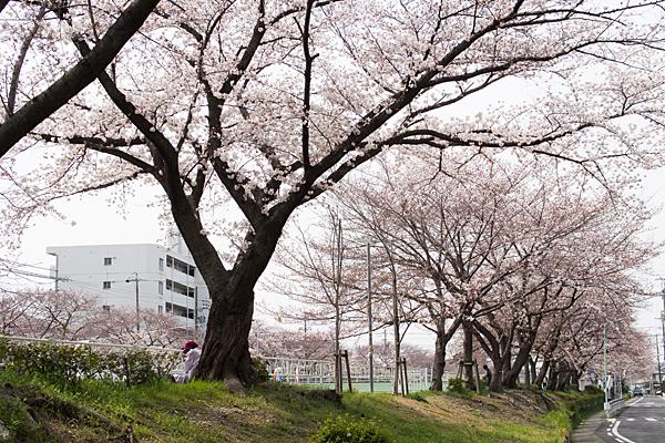 香流川緑道の桜並木