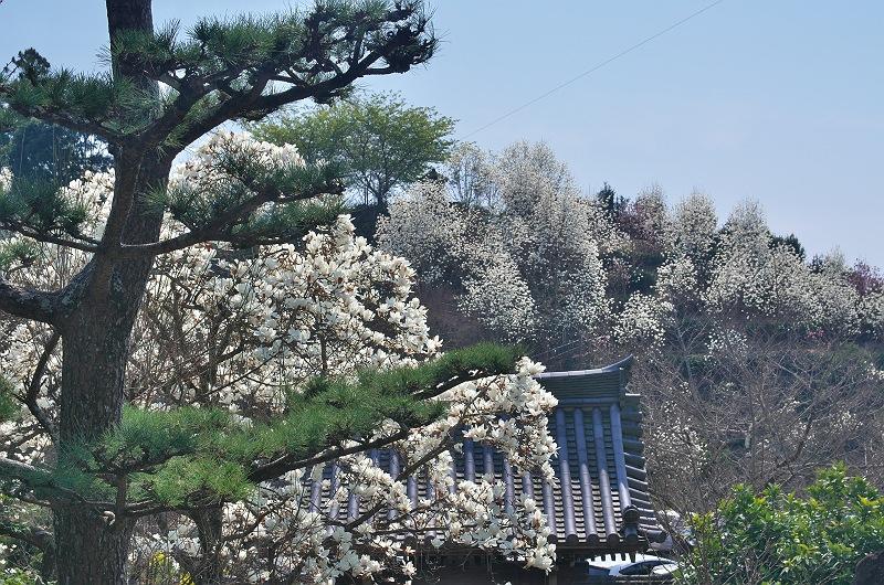 十輪寺のモクレン