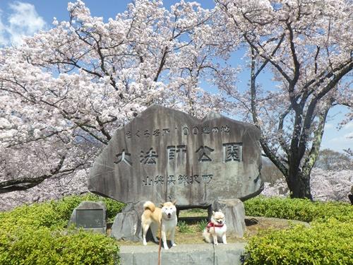クウちゃんとお花見(大法師公園)