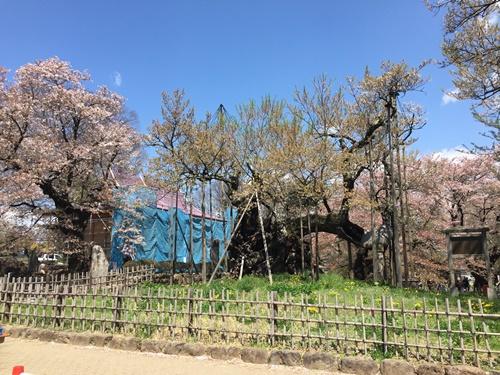 クウちゃんとお花見(神代桜)