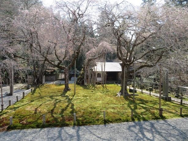 常照皇寺の九重桜と左近の桜