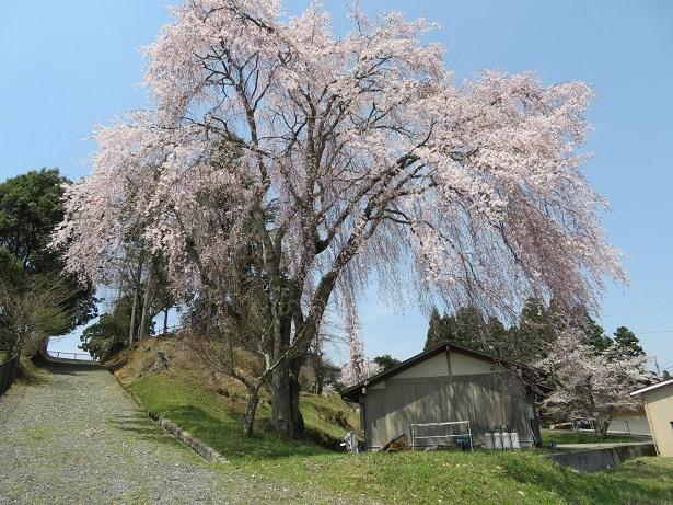 京北町の出会い桜 2