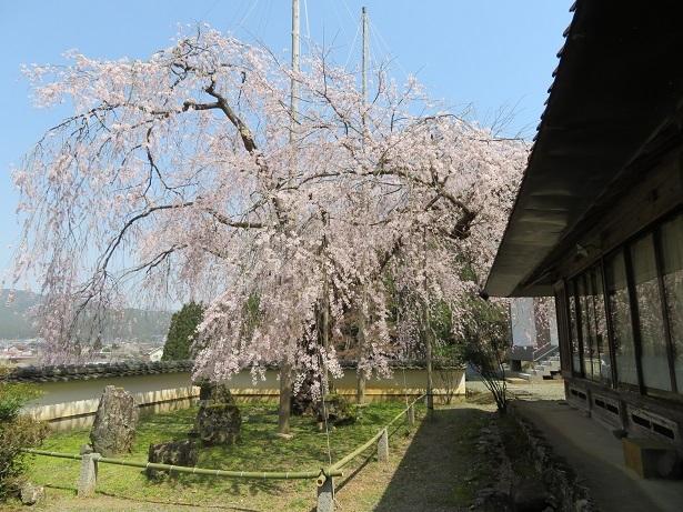 福徳寺のかすみ桜