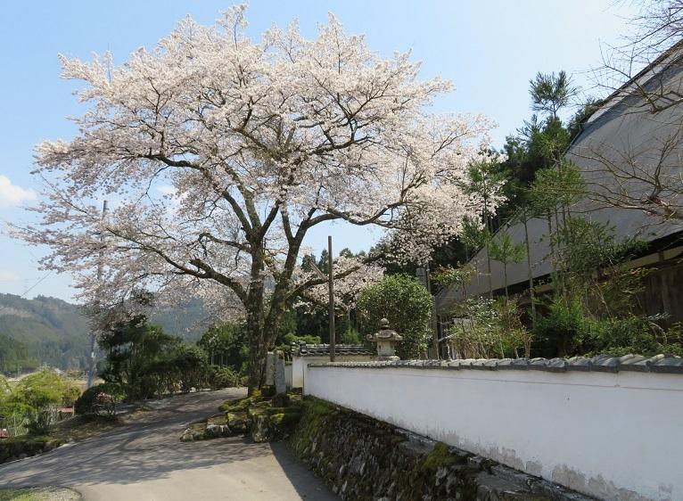 王林寺の一本桜