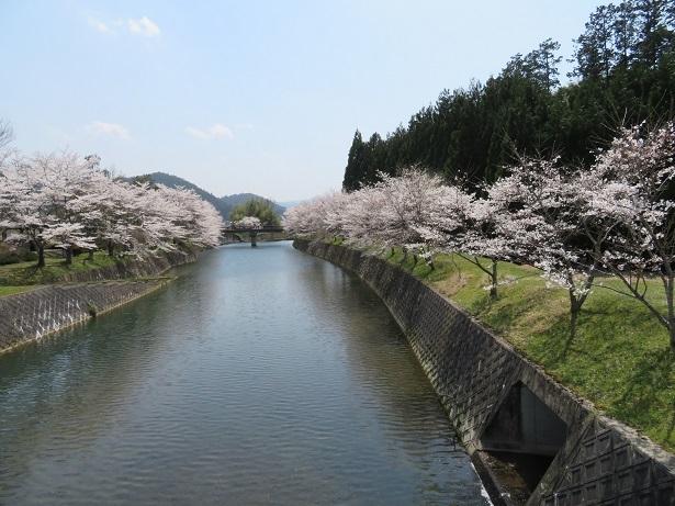弓削川沿いの桜並木