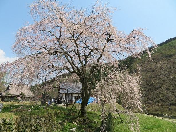 魚ヶ渕の枝垂れ桜