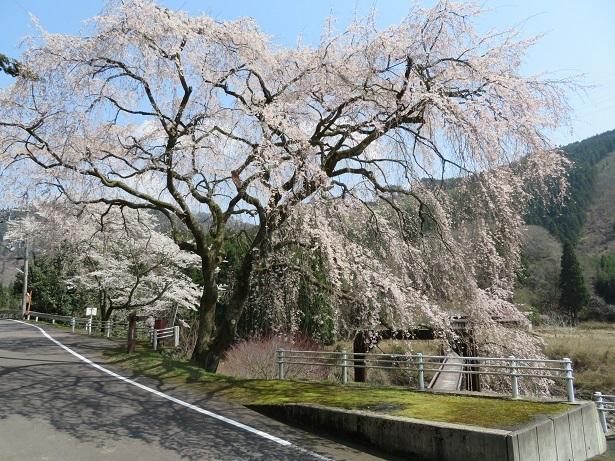 魚ヶ渕の吊橋の桜 2