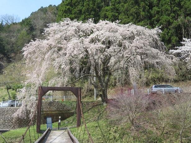 魚ヶ渕の吊橋の桜