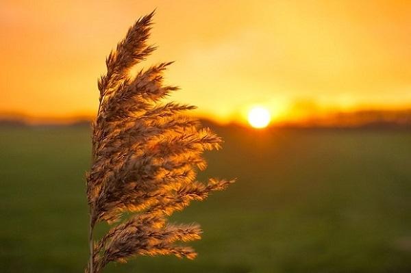 フリー画像・風に揺れる麦