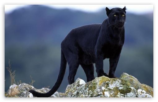 panther-06.jpg