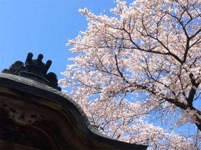 2017二荒山神社のさくら3