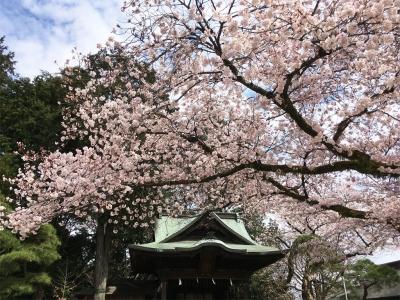 2017二荒山神社のさくら1