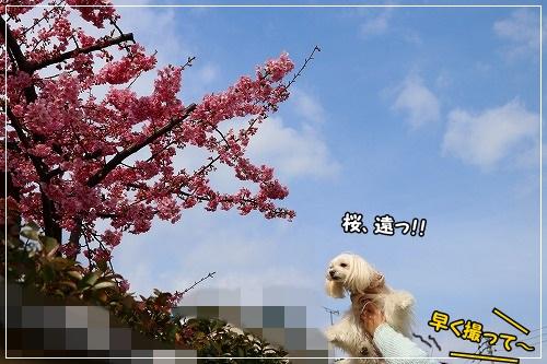 桜、実はめっちゃ遠いのね(笑)