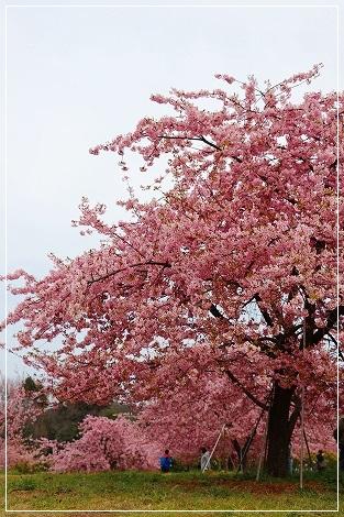 河津桜を見に行って来たよ!