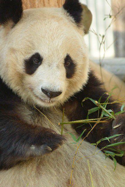 パンダの消化器は、実は笹を食べるのに適していない?