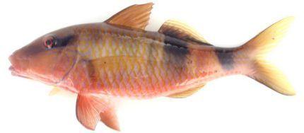 なんと、「オジサン」という名前の魚がいる?