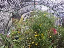 猿恋葦サボテンはお国で花芽を上げ開花中ですが屋外に出しました~♪2017.03.18