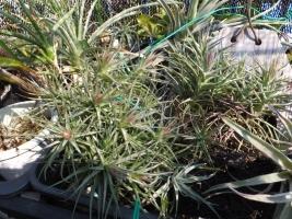 チランジア・ベルゲリ(Tillandsia bergeri)花芽がいっぱい上がっていました♪2017.03.20