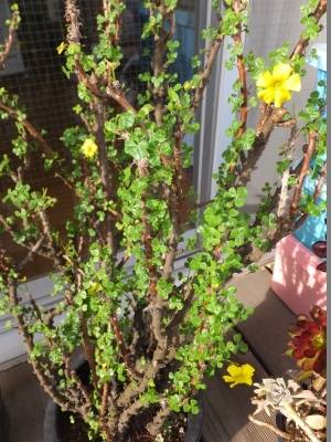 ■オキザリス ギガンティア(Oxalidaceae Oxalis gigantea) 毎年今時期開花中♪2017.04.20