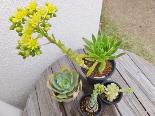 アエオニウムの花芽いろいろ♪墨染(黄花)、衆讃曲(左)、愛染錦(右)♪2017.05.04