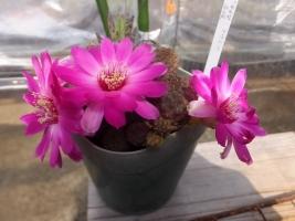 スルコレブチア・ラウシー(Sulcorebutia rauschii)~開花中♪2017.05.05