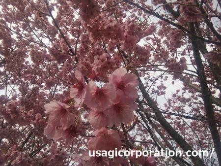 2017 0403 桜
