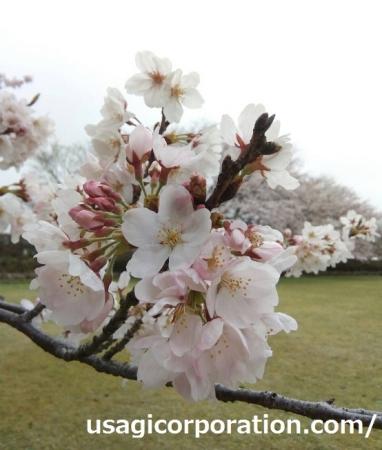 2017 0409 桜2